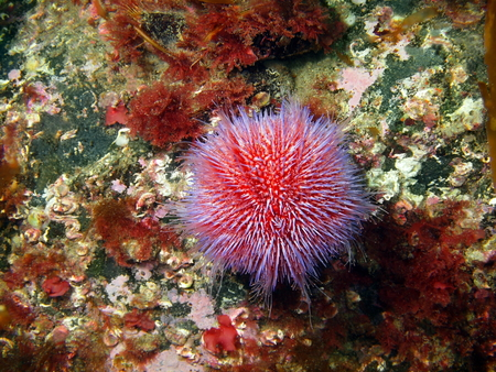 Sea urchin Echinus, Barents sea