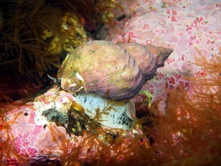 mollusc: Gastropoda mollusc, Barents sea