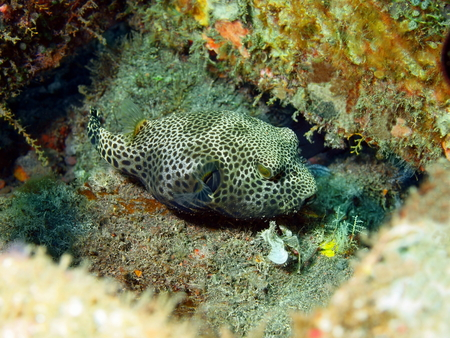 boxfish: Boxfish, Island Bali, Tulamben
