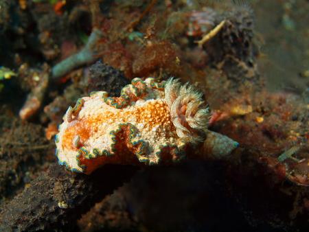 sea slug: True sea slug in Island Bali, Tulamben Stock Photo