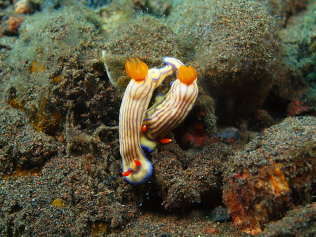 babosa: Verdadero babosa de mar Foto de archivo