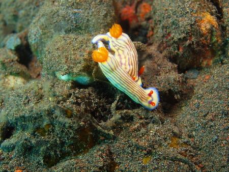 sea slug: True sea slug
