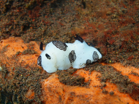 True sea slug, Island Bali, Tulamben photo