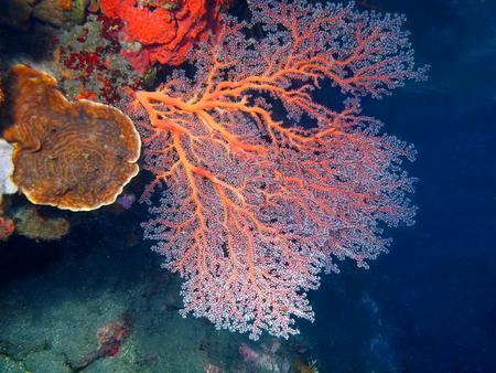 gorgonian: Gorgonian coral, Island Bali, Tulamben