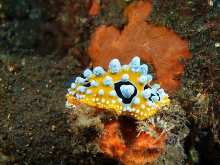 sea slug: True sea slug, Island Bali, Tulamben Stock Photo