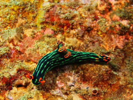 slug: True sea slug, Island Bali, Tulamben Stock Photo