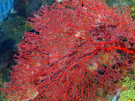 gorgonian: Gorgonian coral Stock Photo
