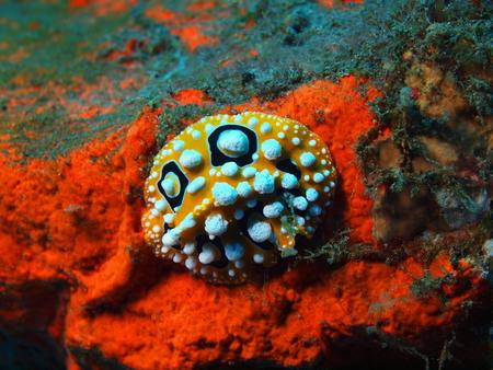 slug: Verdadero babosa de mar, la isla de Bali, Tulamben