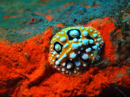 babosa: Verdadero babosa de mar, la isla de Bali, Tulamben