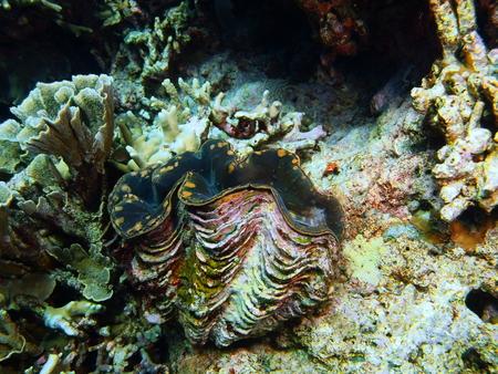 clam: Enormous clam, Island Bali, Pemuteran Stock Photo