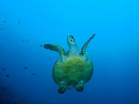 water turtle: Sea turtle, Island Bali, Pemuteran Stock Photo