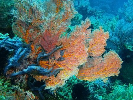 gorgonian: Gorgonian coral, Island Bali, Pemuteran Stock Photo