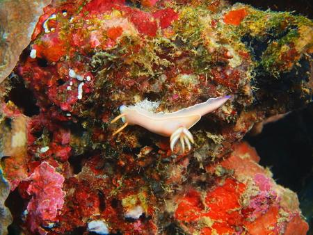 slug: Verdadero babosa de mar, la isla de Bali, Pemuteran