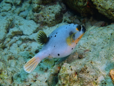 pufferfish: Pufferfish, Island Bali, Pemuteran