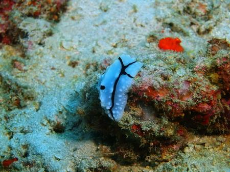 babosa: Es cierto babosa de mar, la isla de Bali