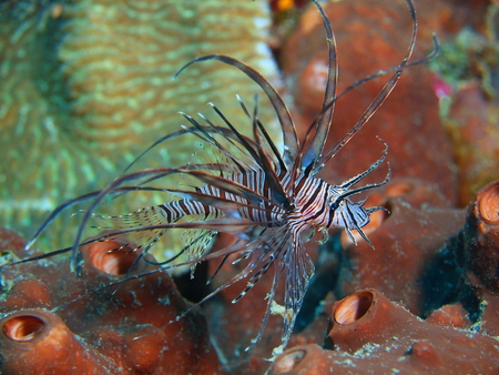 scorpionfish: Scorpionfish, Island Bali, Pemuteran