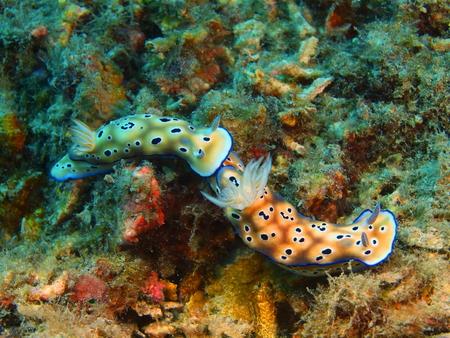 sea slug: True sea slug, Island Bali, Pemuteran