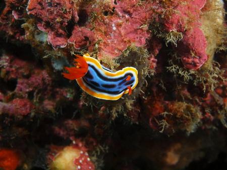 babosa: True sea slug, Island Bali, Pemuteran