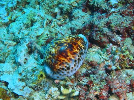 mollusc: Shell mollusc, underwater in an Island in Bali, Pemuteran Stock Photo