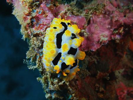 babosa: Verdadero babosa de mar, la isla de Bali, Pemuteran