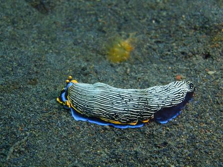 babosa: Es cierto babosa de mar, la isla de Bali, Puri Jati Foto de archivo