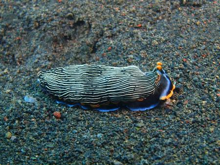 True sea slug, Island Bali, Puri Jati