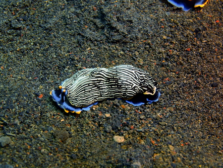 babosa: True sea slug, Island Bali, Puri Jati