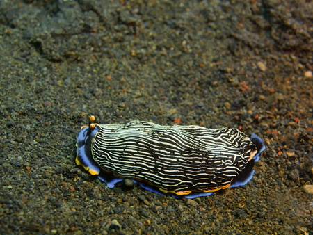 sea slug: True sea slug, Island Bali, Puri Jati