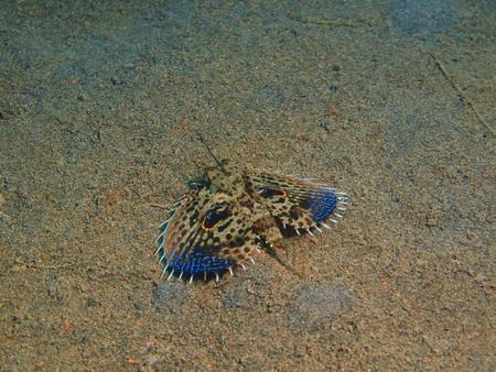 scorpionfish: scorpionfish