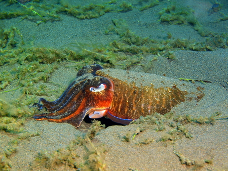Cuttlefish, Island Bali, Puri Jati