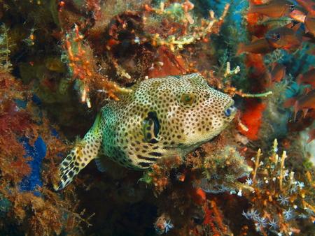 boxfish: Boxfish, Island Bali, Puri Jati
