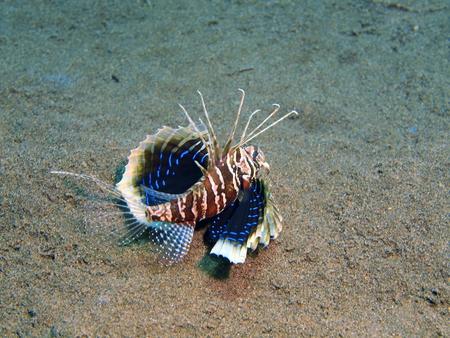 scorpionfish: Scorpionfish, Island Bali, Puri Jati Stock Photo