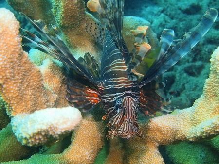 scorpionfish: Scorpionfish, Island Bali, Lovina reef