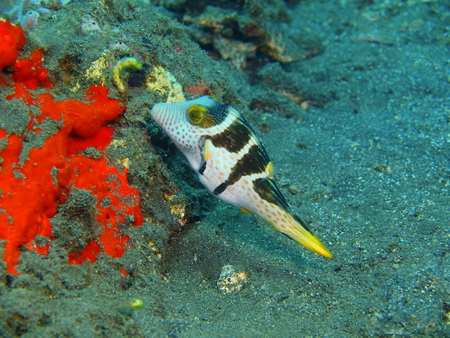 boxfish: Boxfish, Island Bali, Lovina reef