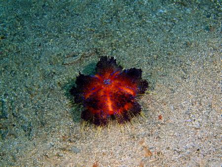 Sea urchin, Philippines, Luzon Island,Aniloa