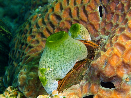 Sea squirt, Philippines, Luzon Island, Aniloa Stock Photo