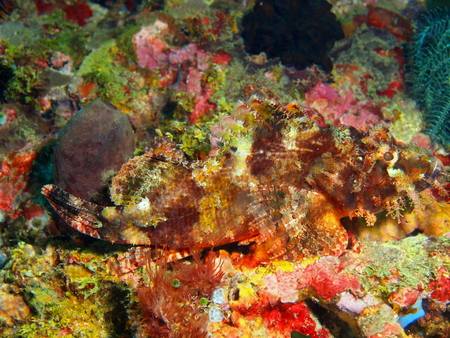 scorpionfish: Scorpionfish, Philippines, Luzon Island, Aniloa Stock Photo