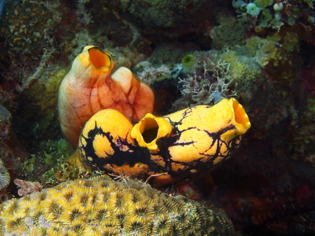 Sea squirt, Philippines, Luzon Island, Aniloa Stock Photo