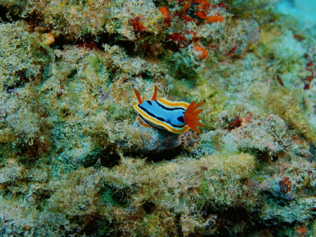 True sea slug, Philippines, Luzon Island, Aniloa