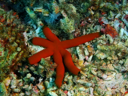 Starfish, Philippines, Luzon Island, Aniloa