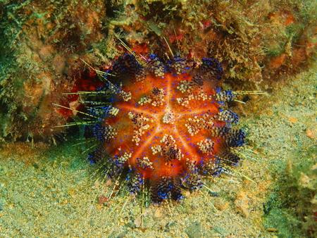 Sea urchin, Philippines, Luzon Island, Aniloa