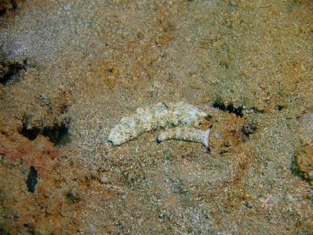 True sea slugs, Philippines, Luzon Island, Aniloa Standard-Bild