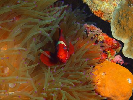 Clownfish, Indonesia, North Sulawesi, Bunaken Island Stock Photo