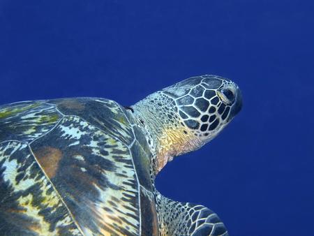 Sea turtle, Indonesia, North Sulawesi, Bunaken Island