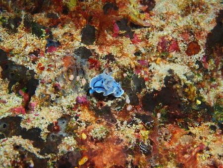 Sea slug, Indonesia, North Sulawesi, Bunaken Island 写真素材