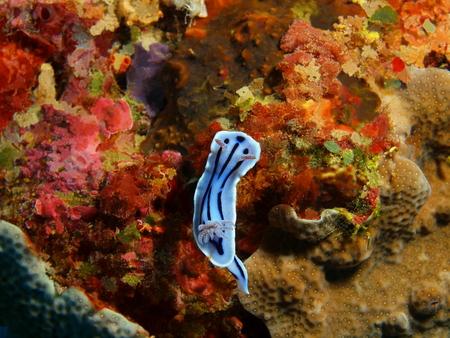 Sea slug, Indonesia, North Sulawesi, Bunaken Island Standard-Bild
