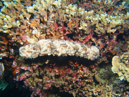 Sea cucumber, North Sulawesi, Bunaken Island