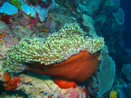 Sea anemone, North Sulawesi, Bunaken Island Stock Photo