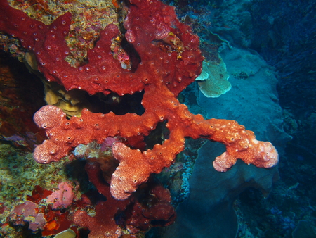 Demosponge, North Sulawesi, Bunaken Island Stock Photo
