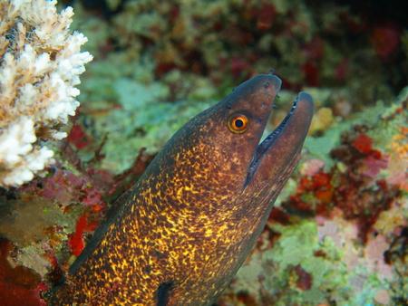 Moray eel, North Sulawesi, Bunaken Island Reklamní fotografie - 121735810